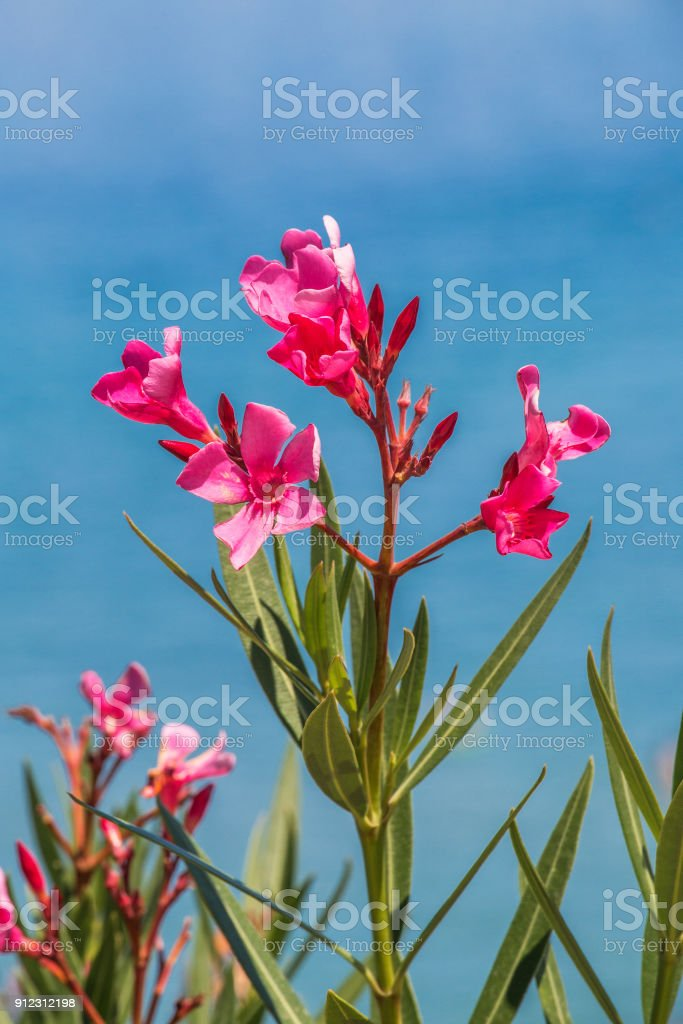 Nerium Oleander Flowers Stock Photo More Pictures Of Backgrounds