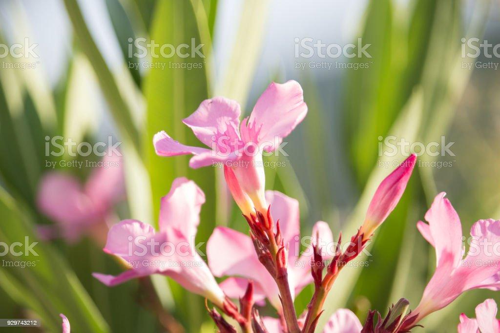 nerium oleander stock photo more pictures of alternative medicine