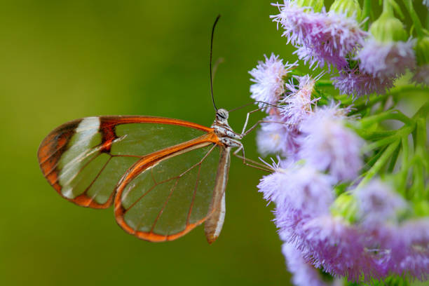 Nero Glasswing, Greta nero, Close-up of transparent glass wing butterfly on green leaves, scene from tropical forest, Belize, resting on a green leaf, beautiful insect in the green nature habitat. stock photo