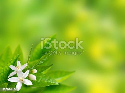 Orange white flowers in the corner of spring blurred garden background. Neroli blossom
