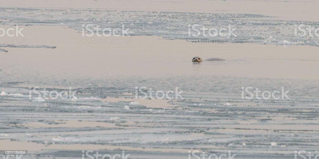 Nerpa im Eismeer. – Foto