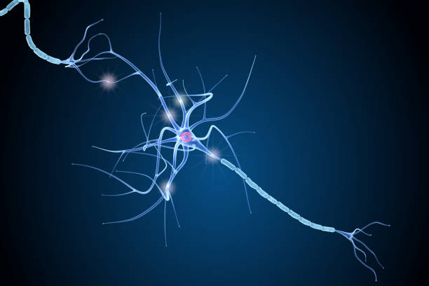 nerve cell anatomy in details. 3d illustration - nerve cell stock photos and pictures