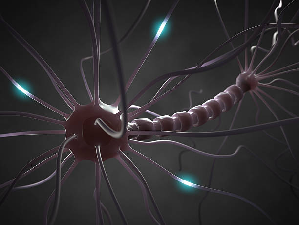 Nerve Cell Interconnected neurons transferring information with electrical pulses. autoreceptor stock pictures, royalty-free photos & images