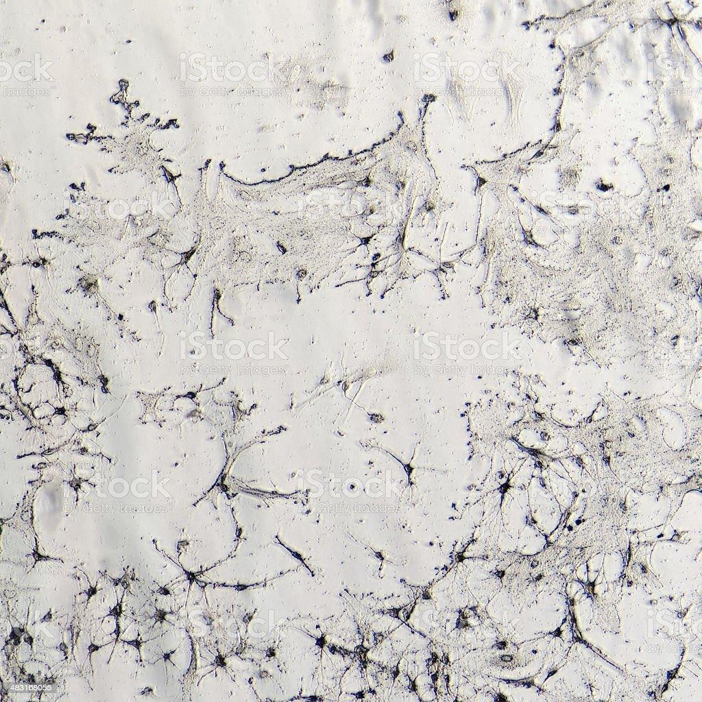 nerve cells of rat brain stock photo