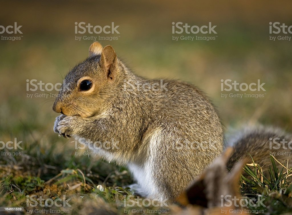 Nervous squirrel royalty-free stock photo