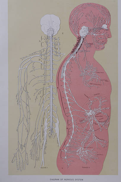 nervous system anatomy - medical diagrams stock pictures, royalty-free photos & images