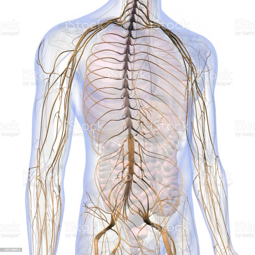 Nervous System Internal Anatomy In Male Chest And Abdomen Stock