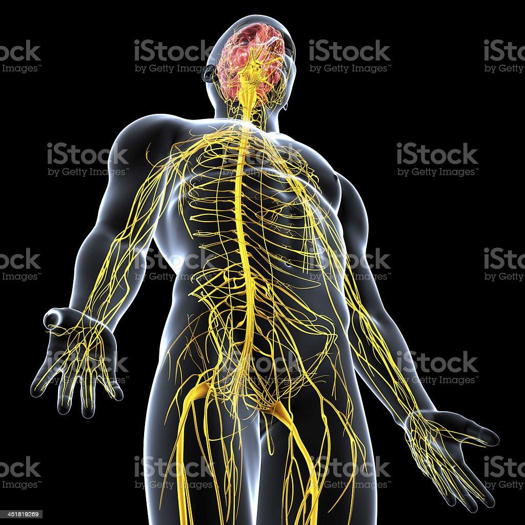 Fotografía de Sistema Nervioso De Cuerpo Macho Anatomía Humana Con ...