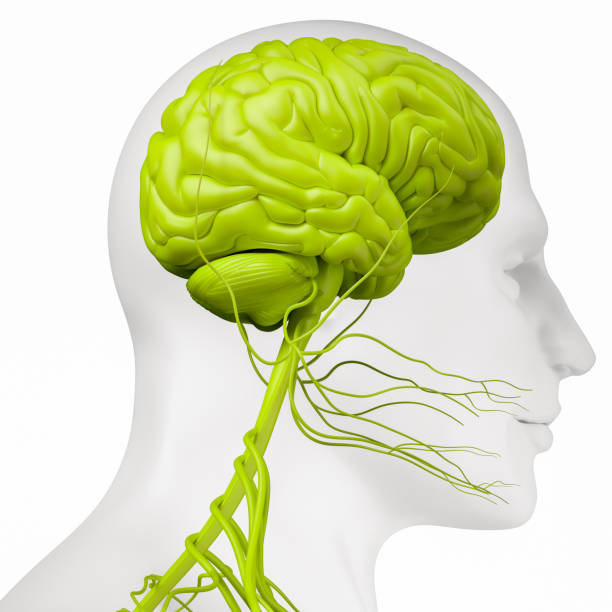 Nervous system Digital medical illustration depicting the side view of the nervous system in the head and neck. parietal lobe stock pictures, royalty-free photos & images