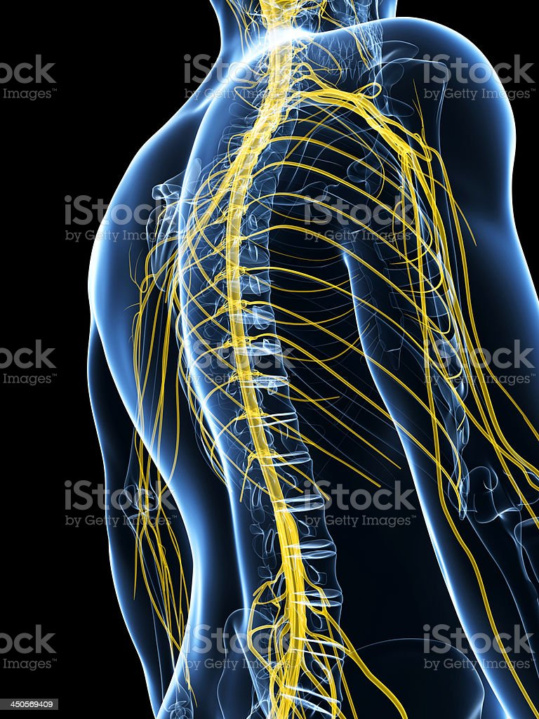 nervous system royalty-free stock photo