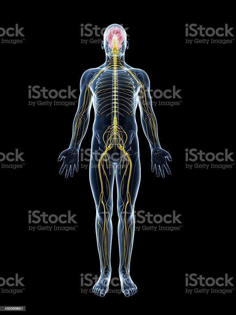 nervous system royalty-free stock photo