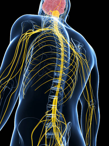nervous system 3d rendered illustration of the male nerve system intercostal space stock pictures, royalty-free photos & images