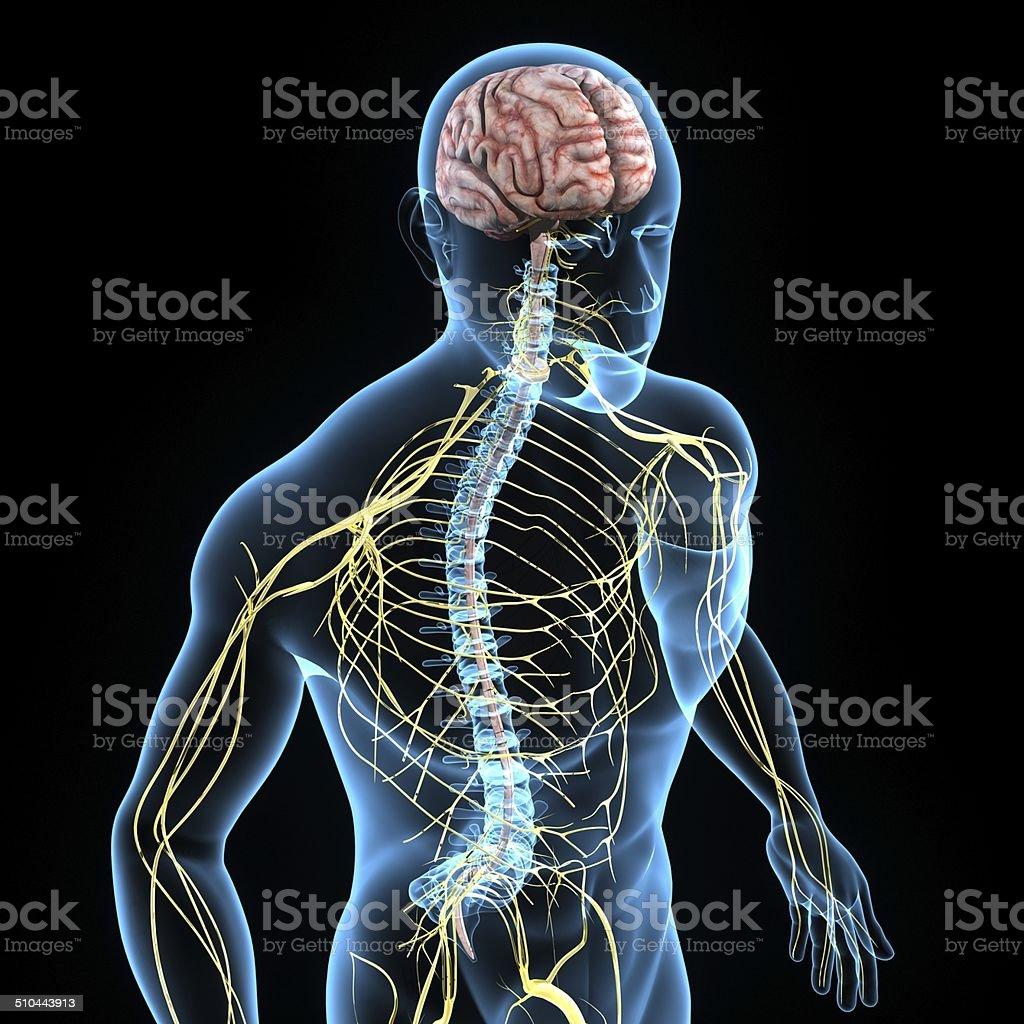 Fotografía de Sistema Nervioso Central y más banco de imágenes de ...