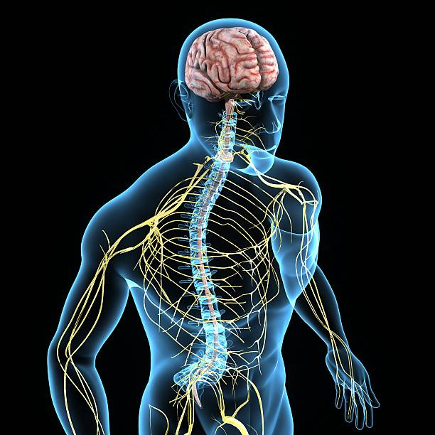 Royalty Free Human Nervous System Pictures Images And Stock Photos