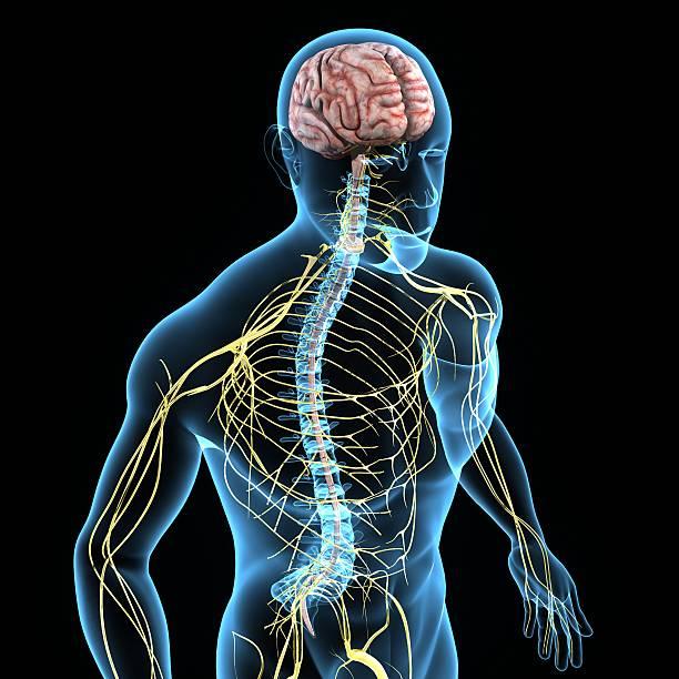 Nervous system stock photo