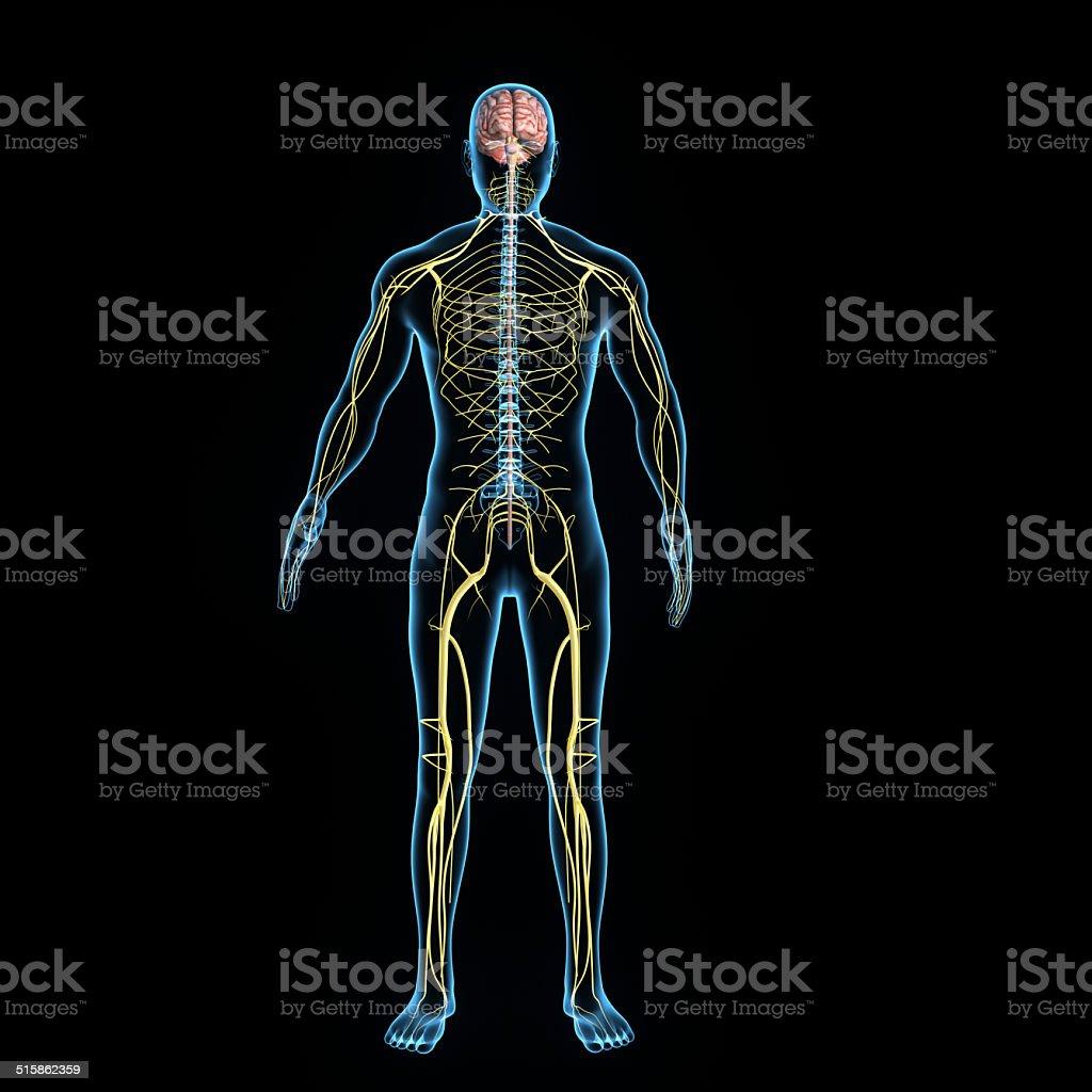 Sistema Nervioso Central - Fotografía de stock y más imágenes de ...