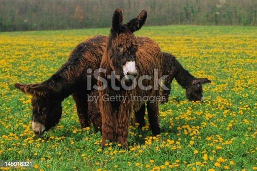 istock ânes dans un pré 145916321