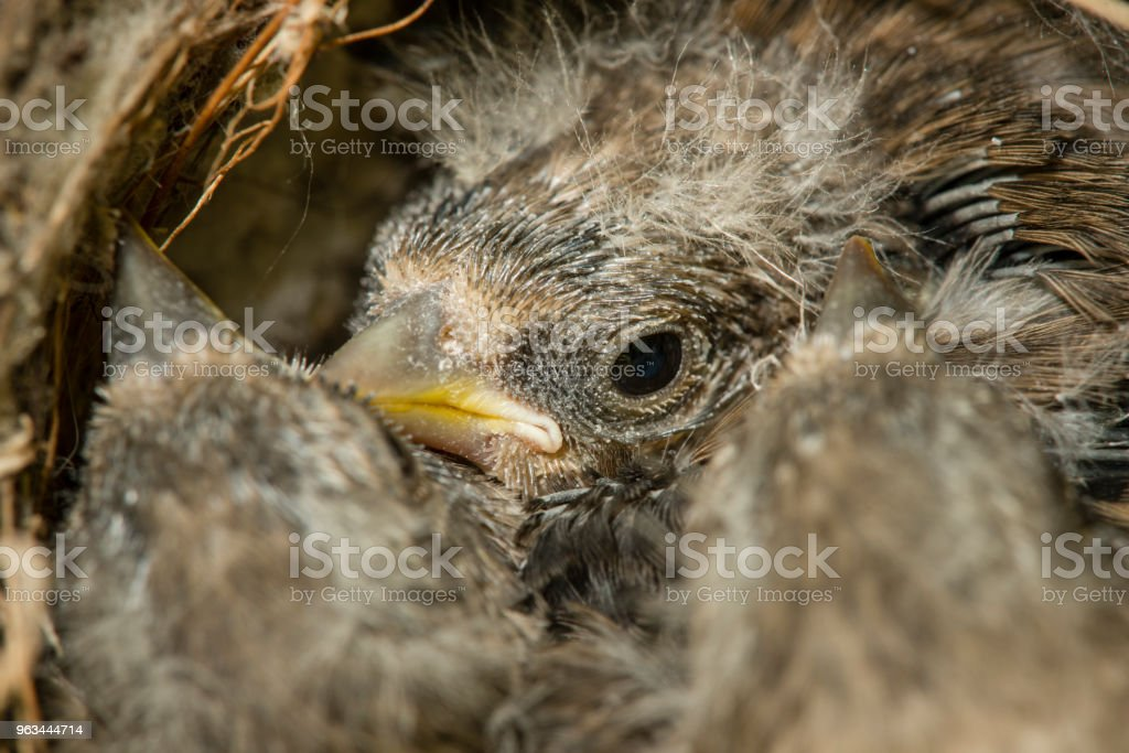 Nest and nestlings of European goldfinch (Carduelis carduelis) - Zbiór zdjęć royalty-free (Bez ludzi)