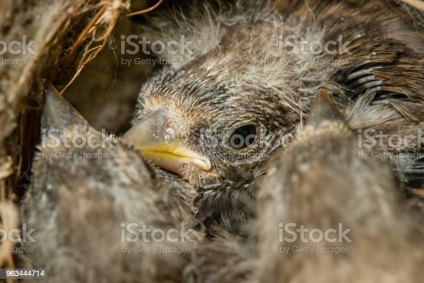 Gniazdo I Pisklęta Europejskiego Goldfinch - zdjęcia stockowe i więcej obrazów Bez ludzi