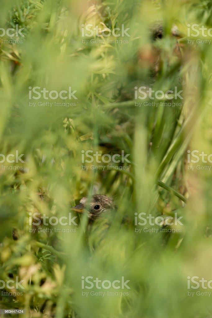 Yuva ve yavrular saka kuşu (Carduelis carduelis) - Royalty-free Altın - Metal Stok görsel