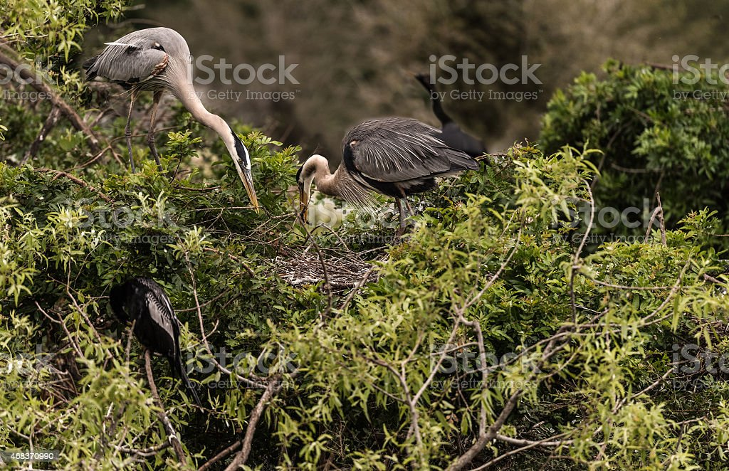 Nest Building by the Great Blue Heron stock photo