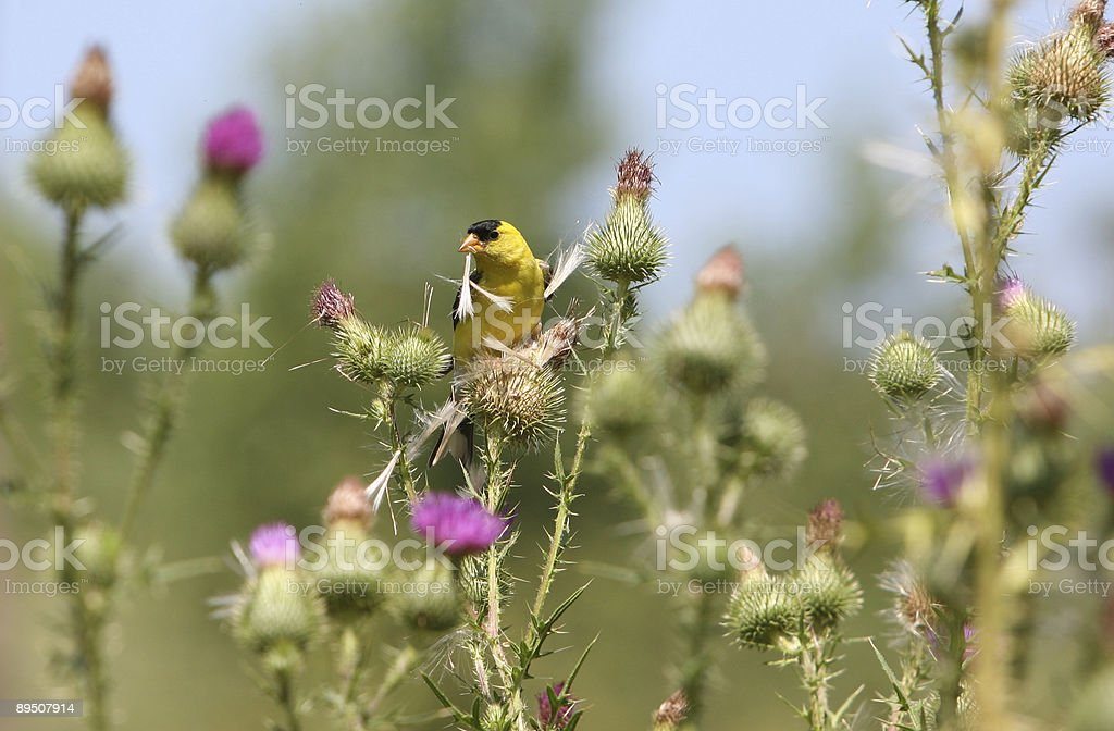 nest building royalty-free stock photo