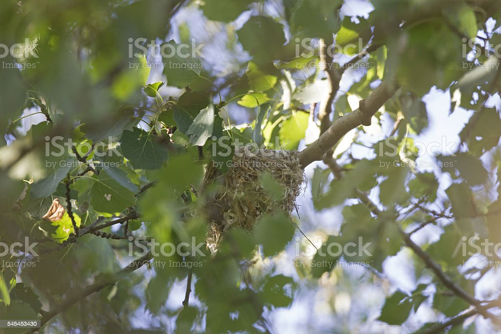 Nest of a Eurasian golden oriole in a tree. stock photo