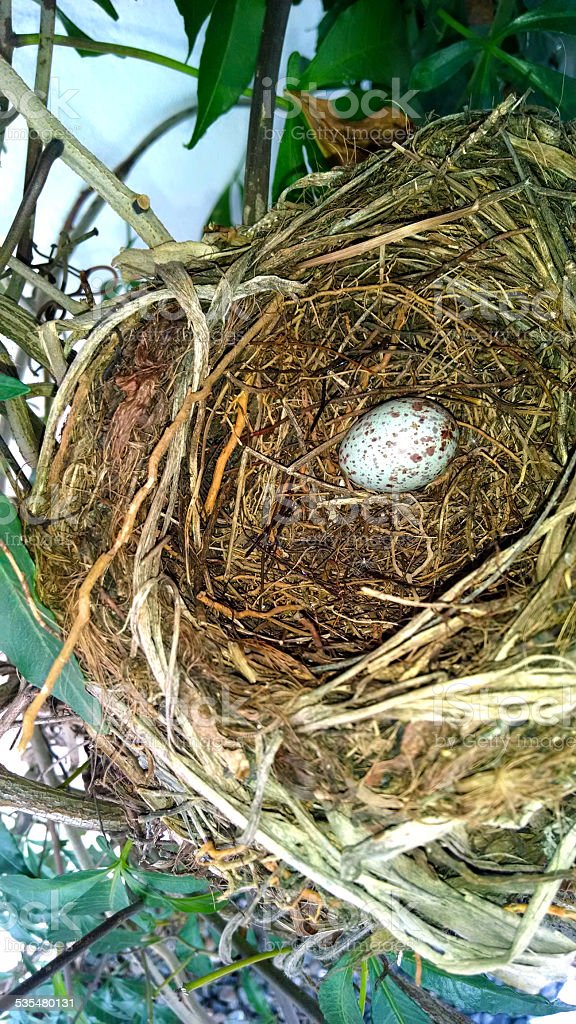 Nest of bird Rufous-bellied Thrush (Turdus rufiventris) with egg stock photo