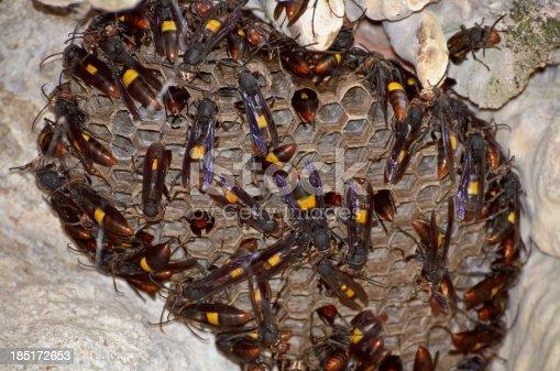 istock Nest of Lesser banded hornet (Vespa affinis) 185172653