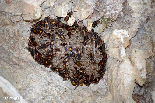 istock Nest of Lesser banded hornet (Vespa affinis) 185172938