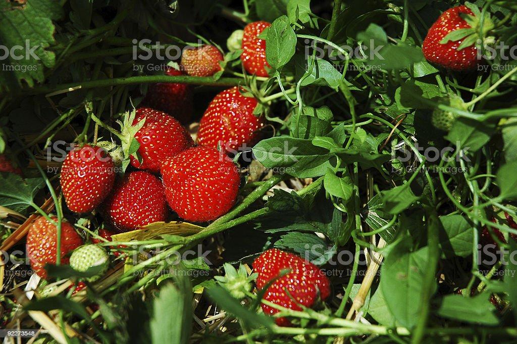 Nest of Strawberries royalty-free stock photo
