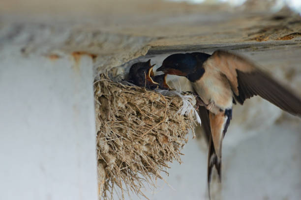 Nest of swallows stock photo
