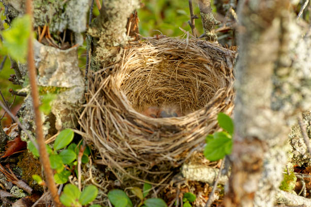 nest of the redwing - turdus iliacus, bird in the thrush family, turdidae, native to europe and asia, slightly smaller than the related song thrush - song thrush imagens e fotografias de stock