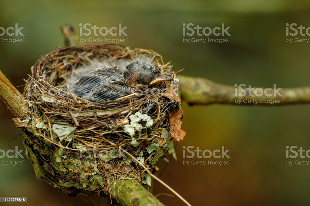 Nest of Vanikoro Broadbill with chicks on Viti Levu Island, Fiji. In...