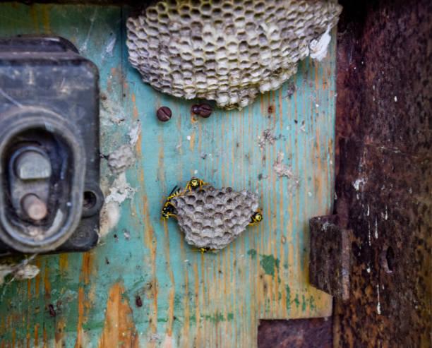 ninho de vespas no velho quadro eléctrico. polist de vespa. - vespa comum - fotografias e filmes do acervo