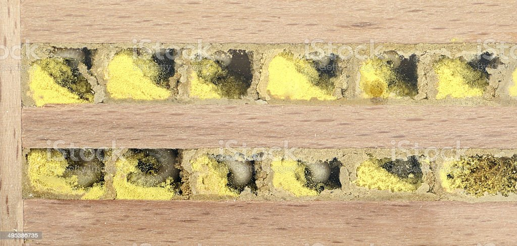 Nid d'abeille sauvage Osmia bicornis avec pollen und œufs - Photo