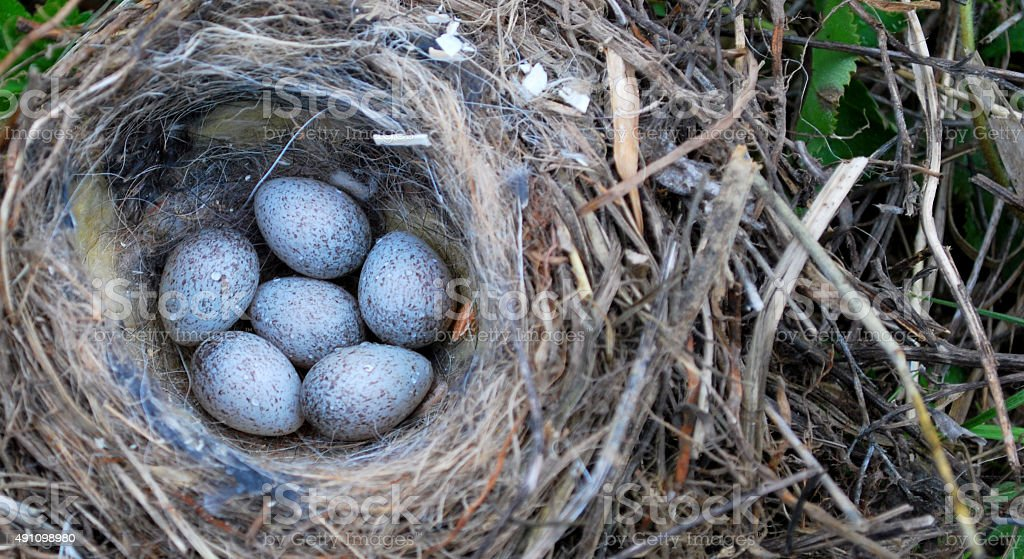 Nest with the eggs of quail. stock photo