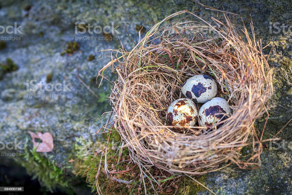 Nest with three quail eggs  on moss stone stock photo