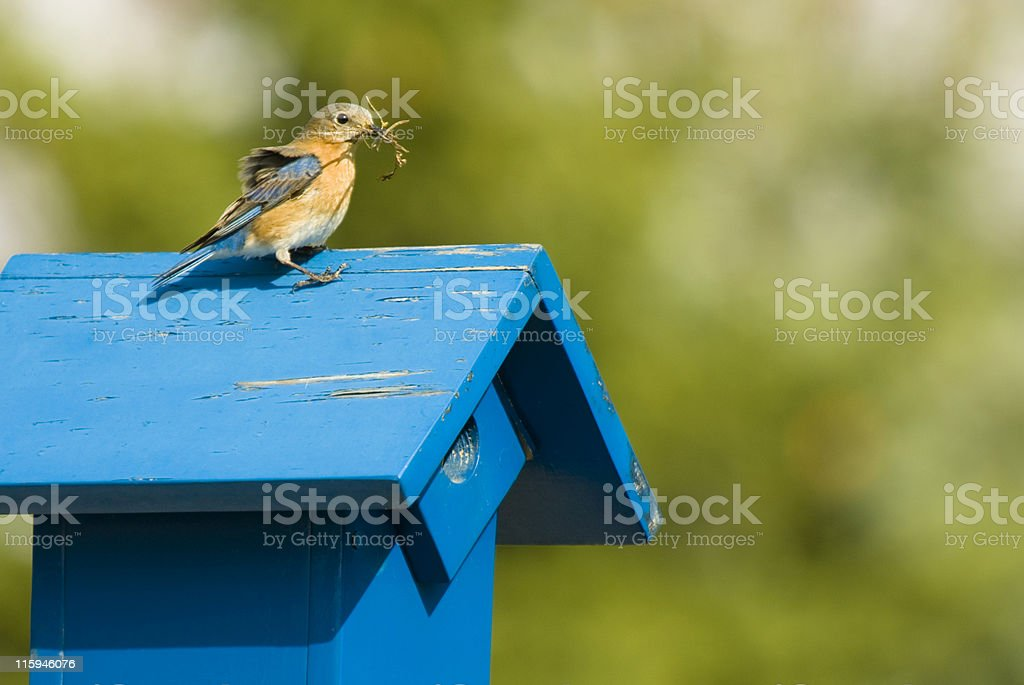 Nestbuilding royalty-free stock photo