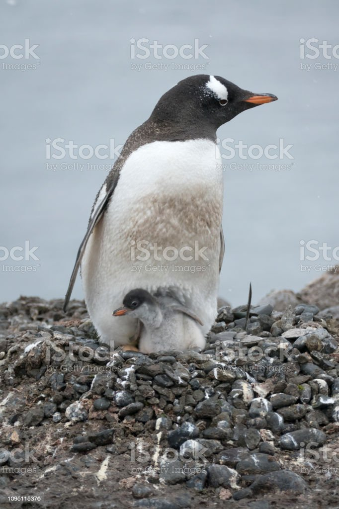 Nesting adult gentoo sits penguin chick Aitcho Island South Shetlands Islands Antarctica stock photo