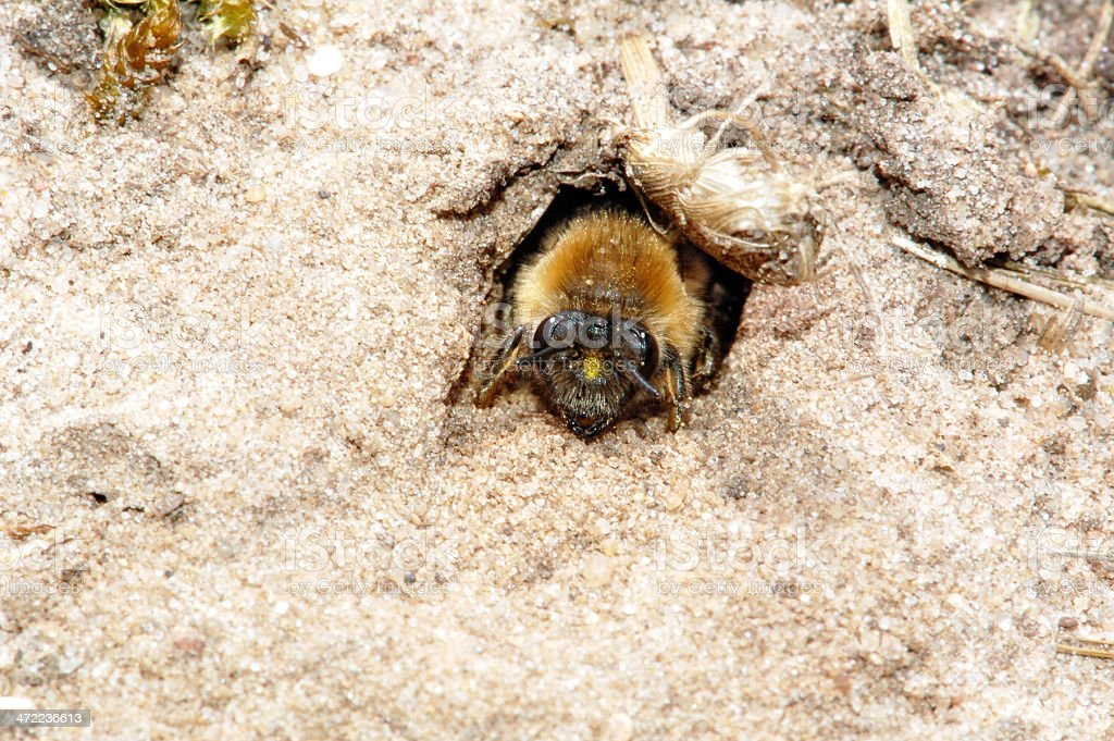 Abeille Andrena gigogne (Andrenidae) - Photo