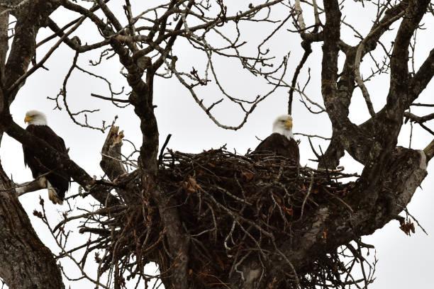 Nesting bald eagles stock photo