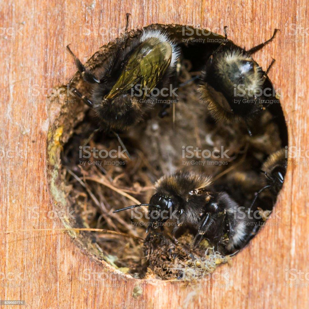 Nesting Bees stock photo