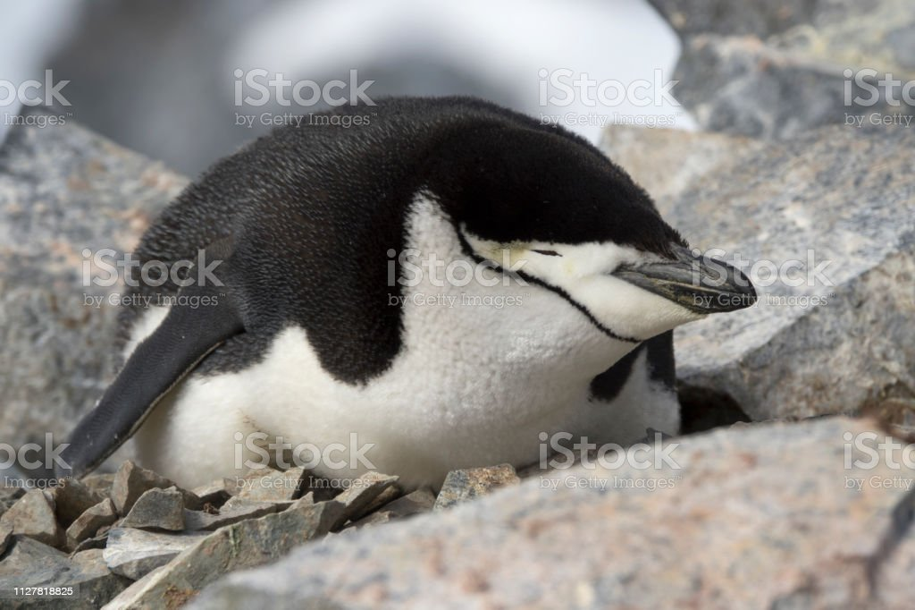 Nesting chinstrap penguin closeup Orne Harbor Antarctic Peninsula mountain stock photo