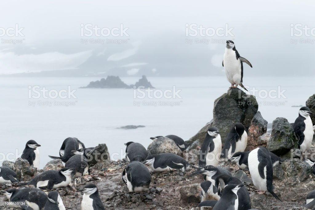 Nesting chinstrap penguins Aitcho Island South Shetland Islands Antarctica stock photo