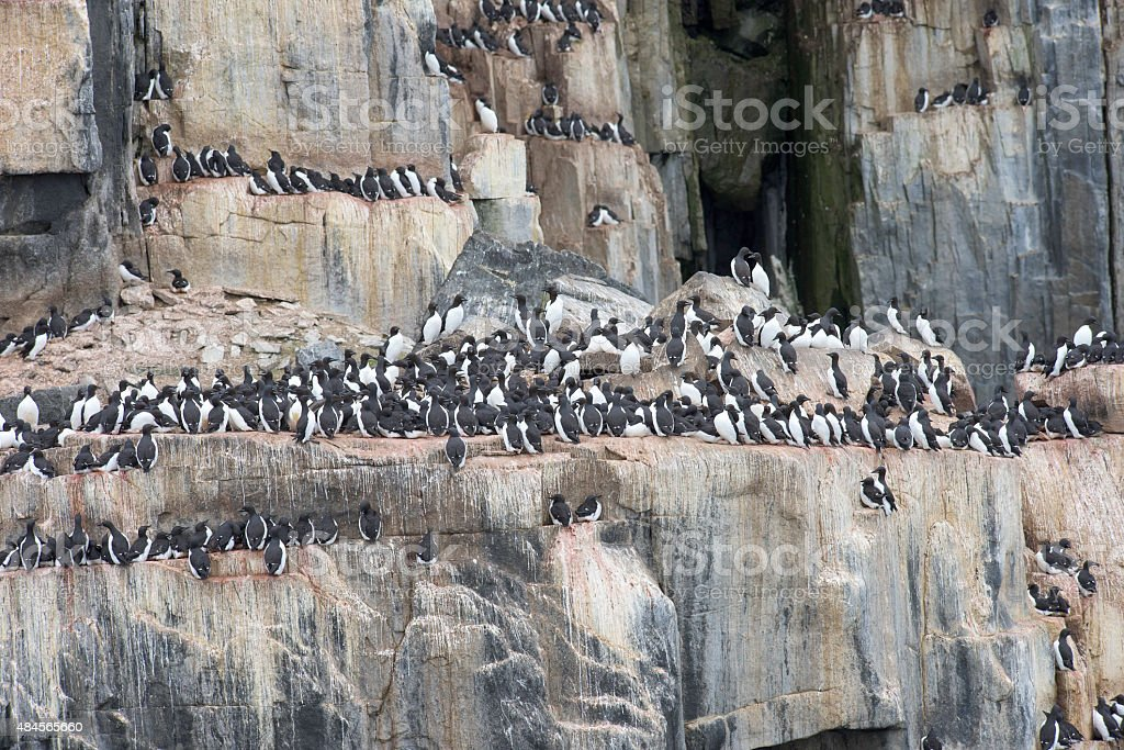 Nesting colony of guillemots in Norway stock photo
