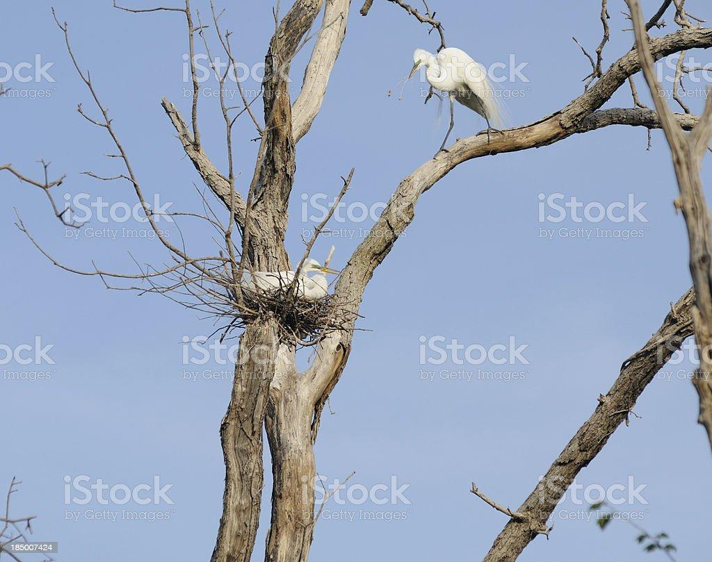 Nesting Egrets stock photo