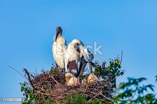 Nesting threatened Florida Wood Stork - shown here shown here in a nest with Chicks under a clear blue sky - grows to be over 3 feet in length and is basically a wading bird that feeds mostly on small to medium-sized fish, crayfish, amphibians, and reptiles