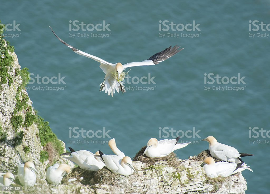 Nesting gannets on a cliff headland royalty-free stock photo