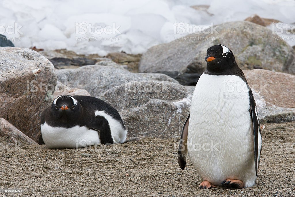 Nesting Gentoo Penguins royalty-free stock photo